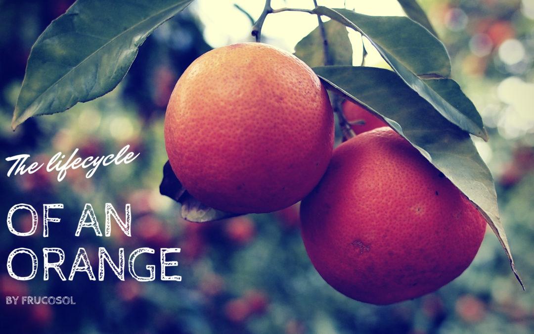 Ciclo de vida de una naranja